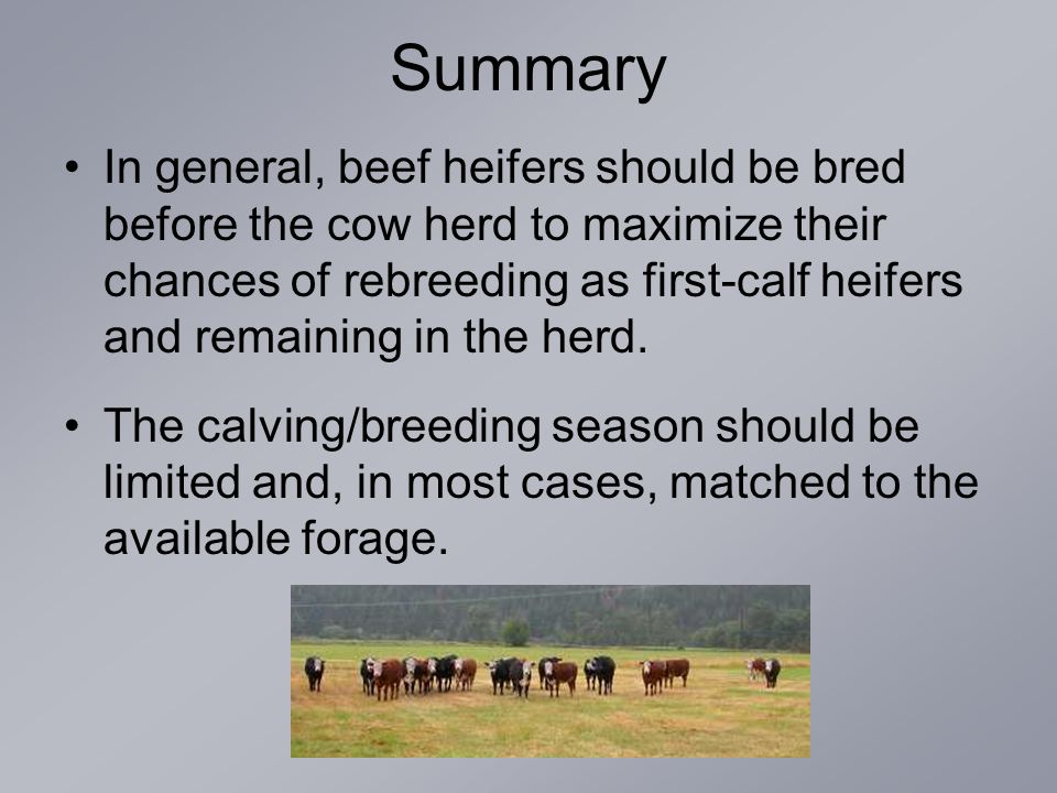 Summary In general, beef heifers should be bred before the cow herd to maximize their chances of rebreeding as first-calf heifers and remaining in the herd.