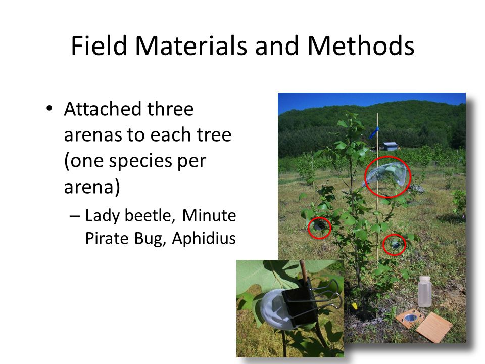 Field Materials and Methods Attached three arenas to each tree (one species per arena) – Lady beetle, Minute Pirate Bug, Aphidius