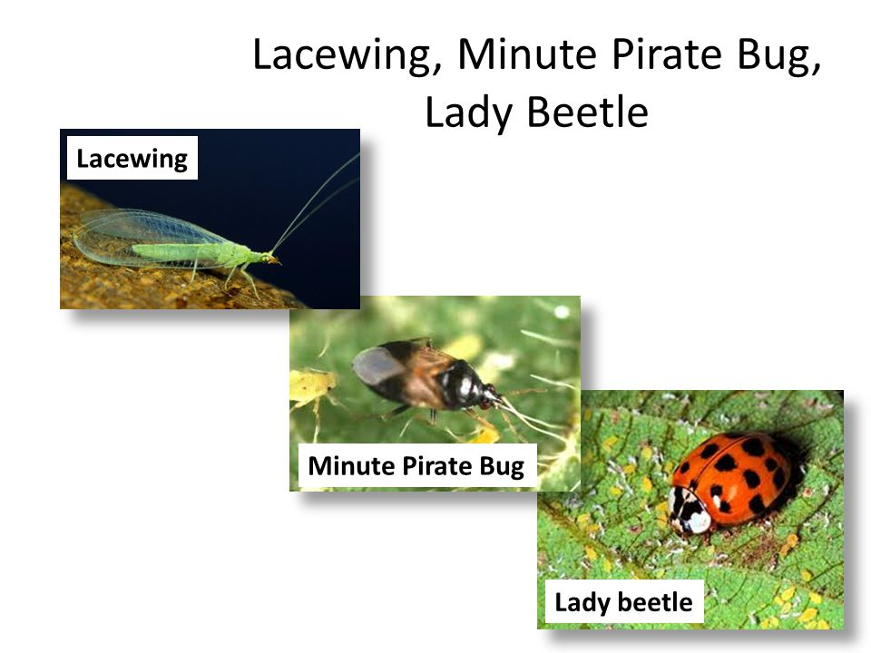 Lacewing, Minute Pirate Bug, Lady Beetle Lady beetle Minute Pirate Bug Lacewing