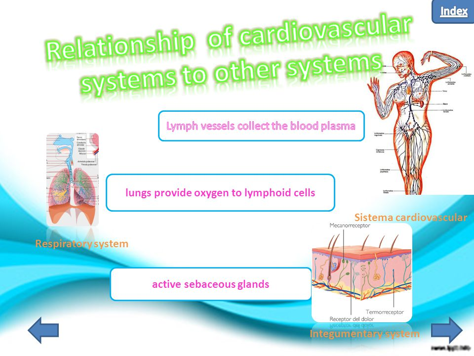 lungs provide oxygen to lymphoid cells active sebaceous glands Sistema cardiovascular Respiratory system Integumentary system