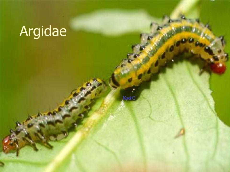 Hymenoptera Tenthredinoidea:Argidae