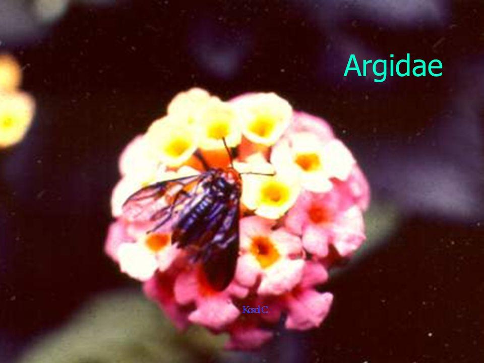 Argidae