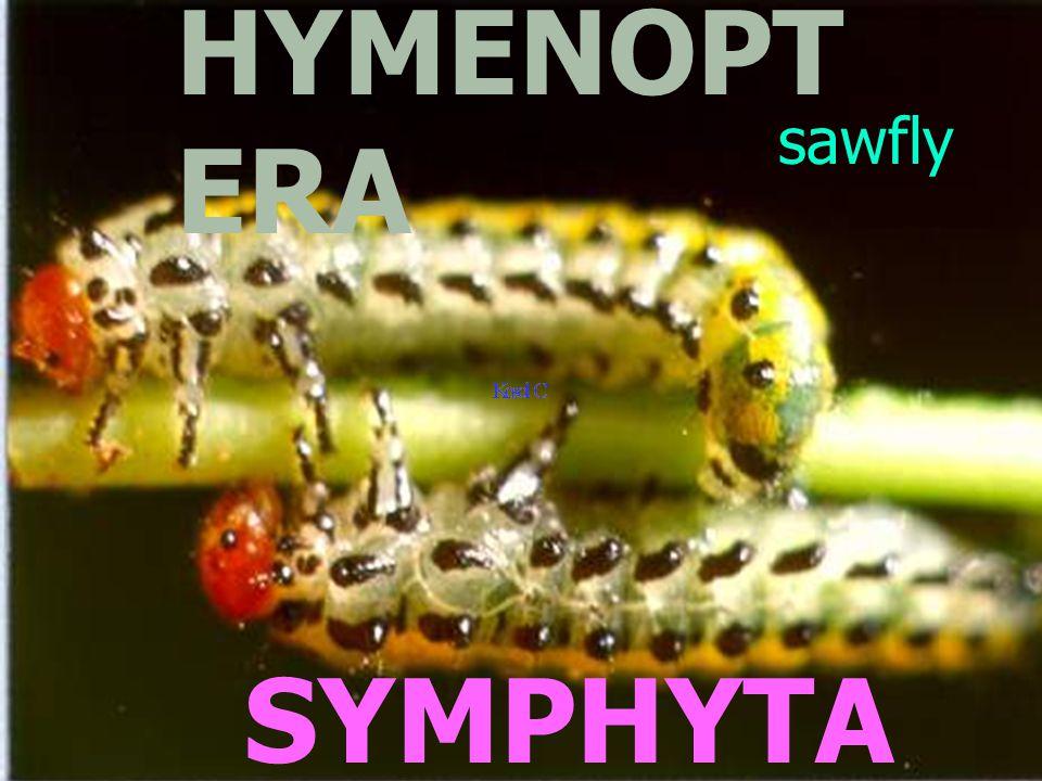 PARASIT ICA ACULEATA parasito ids wasps, bees, ants Hymenopteri st Assoc.