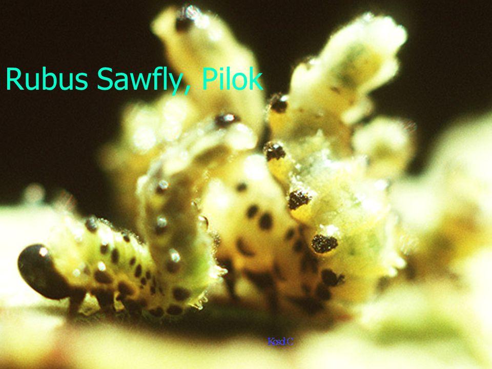 Rubus sawfly, Pilok