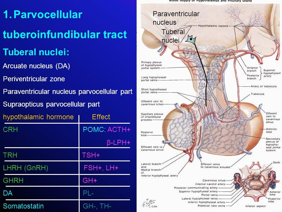 1.Parvocellular tuberoinfundibular tract Tuberal nuclei: Arcuate nucleus (DA) Periventricular zone Paraventricular nucleus parvocellular part Supraopt