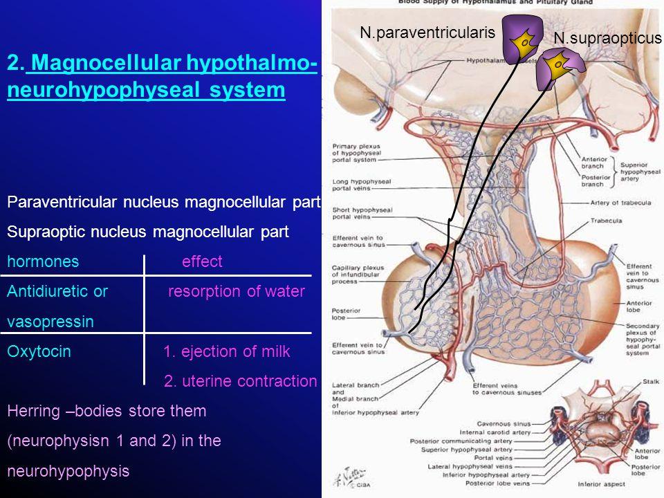 2. Magnocellular hypothalmo- neurohypophyseal system Paraventricular nucleus magnocellular part Supraoptic nucleus magnocellular part hormones effect