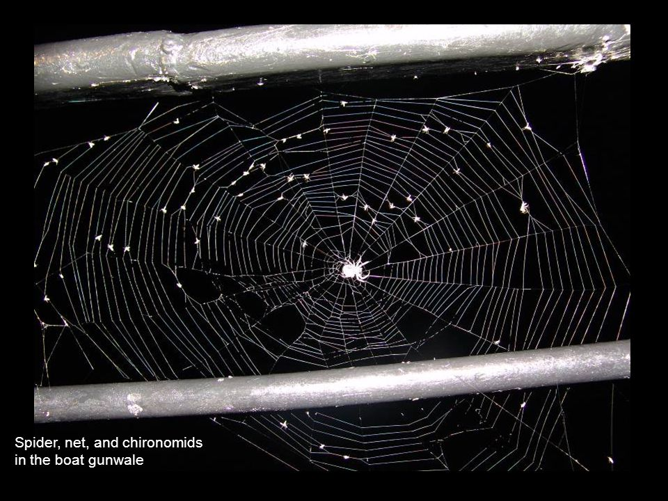 Spider, net, and chironomids in the boat gunwale
