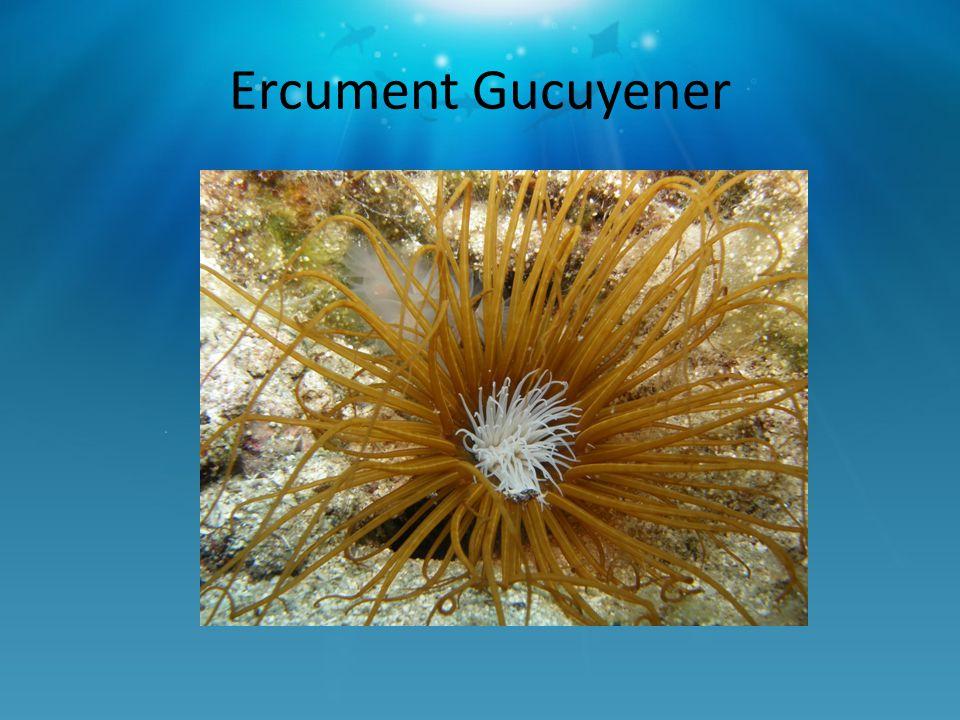 Ercument Gucuyener