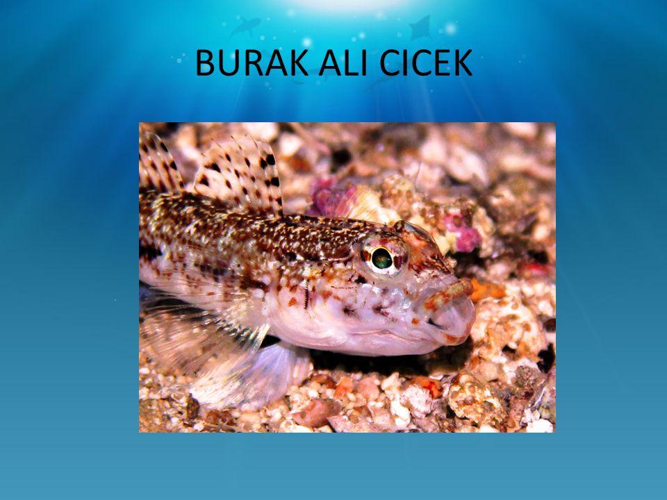 BURAK ALI CICEK