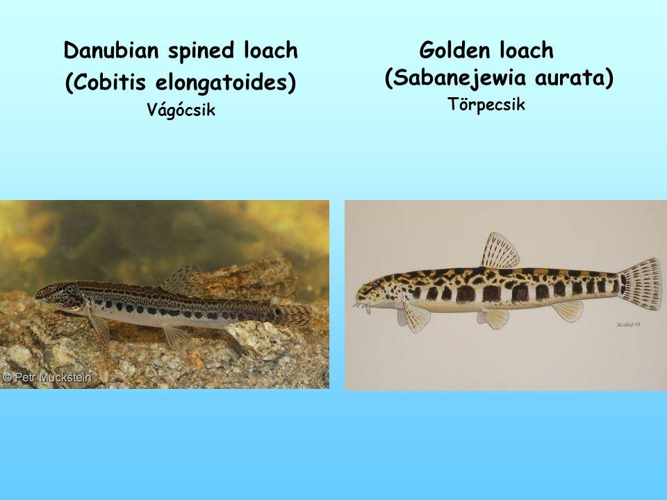 Danubian spined loach (Cobitis elongatoides) Vágócsik Golden loach (Sabanejewia aurata) Törpecsik