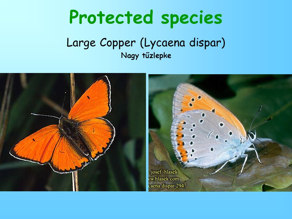 Protected species Large Copper (Lycaena dispar) Nagy tűzlepke