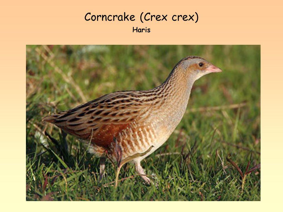 Corncrake (Crex crex) Haris