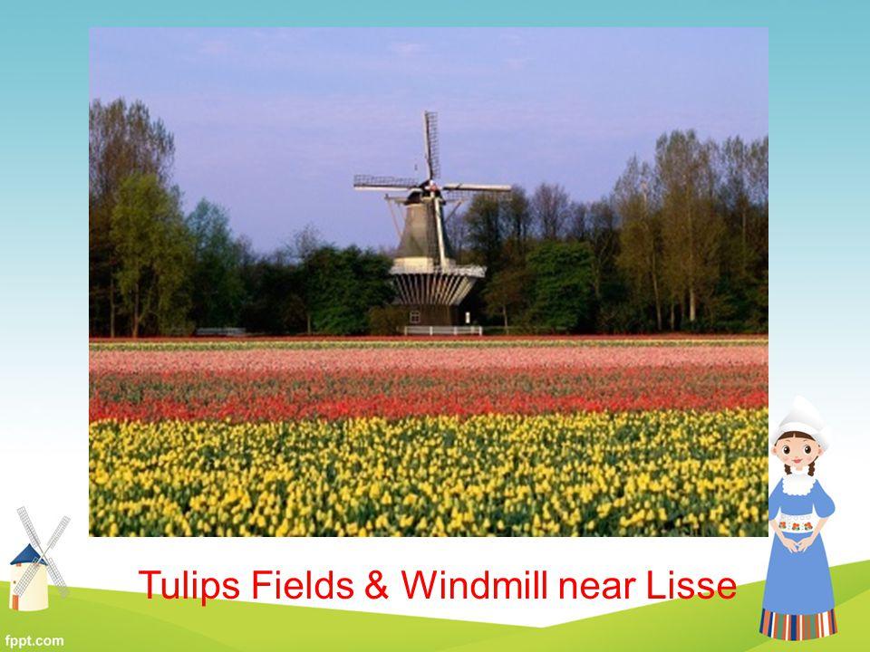 Tulips Fields & Windmill near Lisse