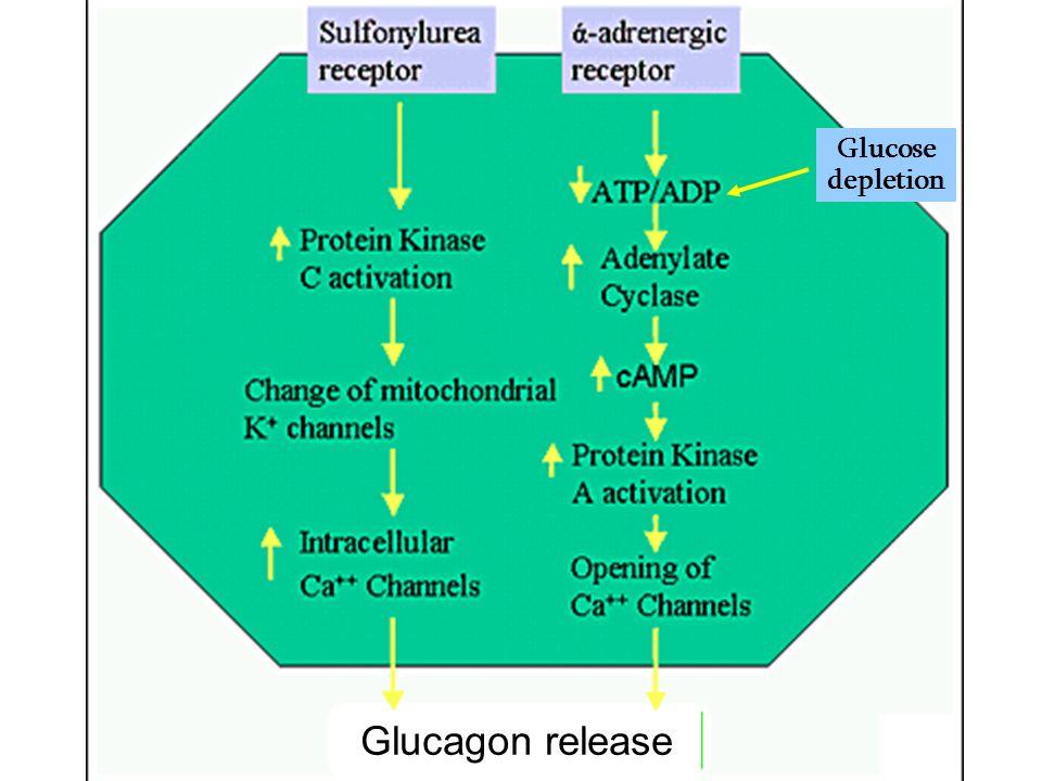 Glucagon Regulation of Secretion Major Minor Glucose - Insulin - Amino acid + Cortisol + Neural (stress) + Gut hormones + Epinephrine + + = stimulates - = inhibits