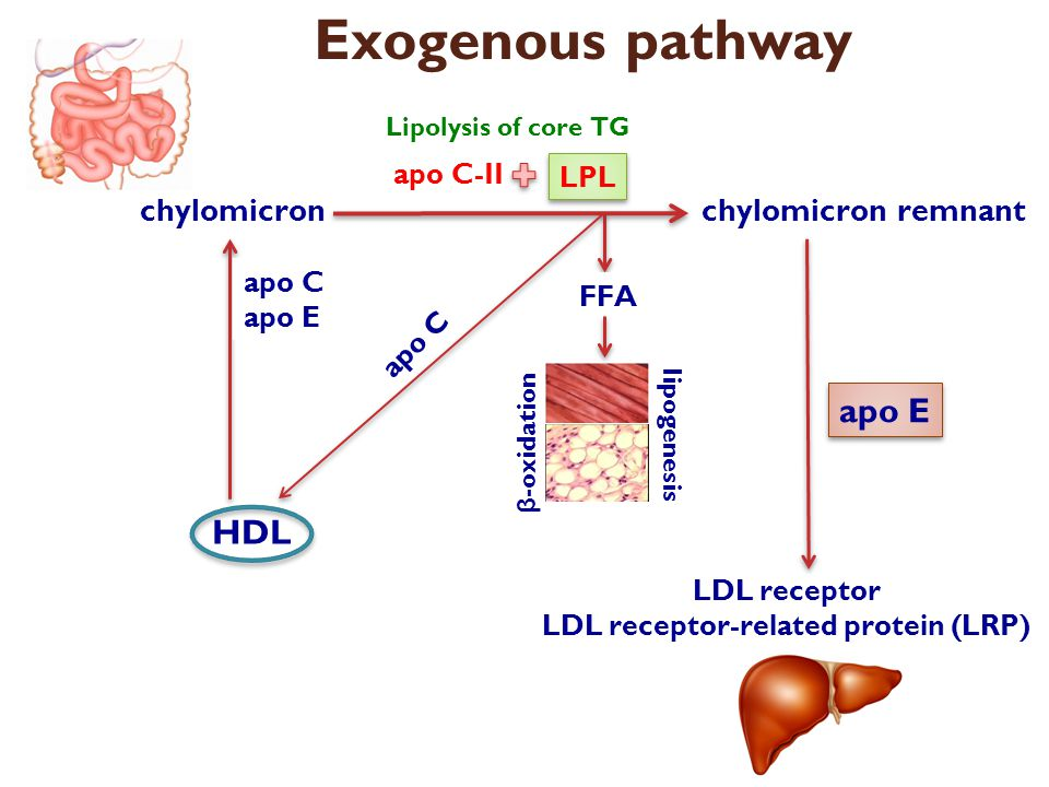 Exogenous pathway chylomicron HDL apo C apo E chylomicron remnant Lipolysis of core TG LPL apo C-II FFA β -oxidation lipogenesis apo C LDL receptor LD