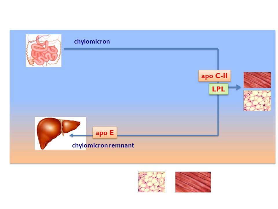 LPL apo E apo C-II chylomicron chylomicron remnant