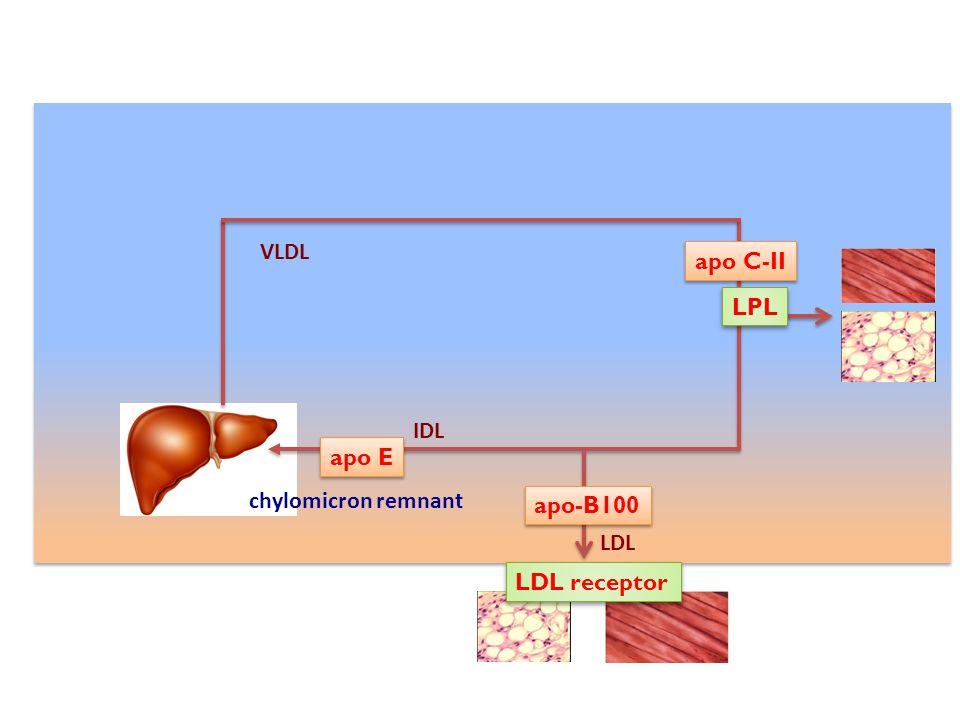 LDL receptor LPL apo-B100 apo E apo C-II chylomicron remnant VLDL IDL LDL