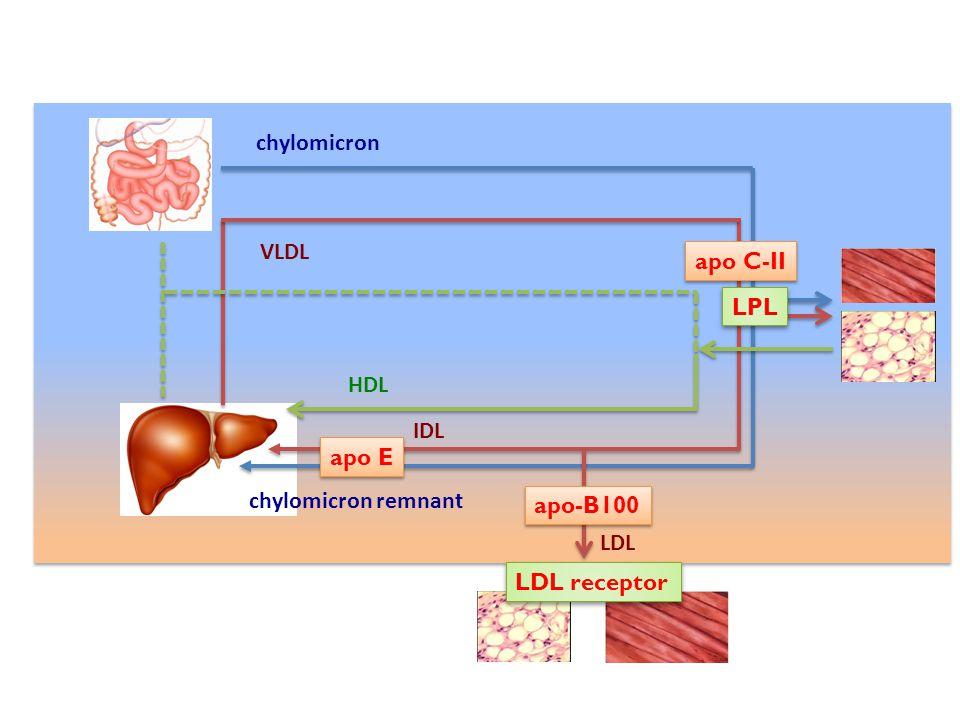 LDL receptor LPL apo-B100 apo E apo C-II chylomicron chylomicron remnant VLDL IDL LDL HDL