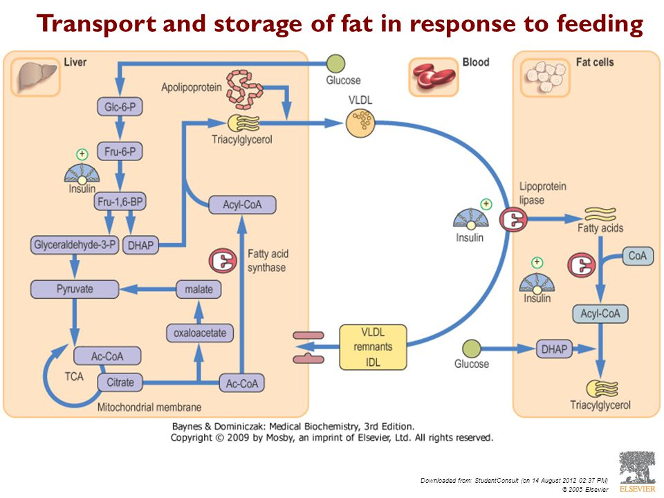 Downloaded from: StudentConsult (on 14 August 2012 02:37 PM) © 2005 Elsevier Transport and storage of fat in response to feeding