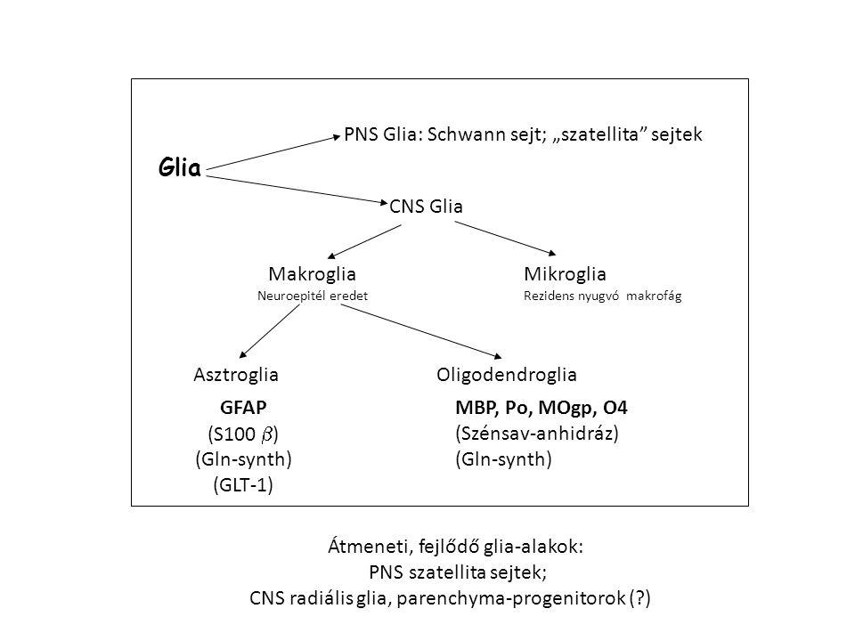 "CNS Glia Mikroglia Rezidens nyugvó makrofág Makroglia Neuroepitél eredet Asztroglia Oligodendroglia PNS Glia: Schwann sejt; ""szatellita sejtek Glia GFAP (S100  ) (Gln-synth) (GLT-1) MBP, Po, MOgp, O4 (Szénsav-anhidráz) (Gln-synth) Átmeneti, fejlődő glia-alakok: PNS szatellita sejtek; CNS radiális glia, parenchyma-progenitorok (?)"
