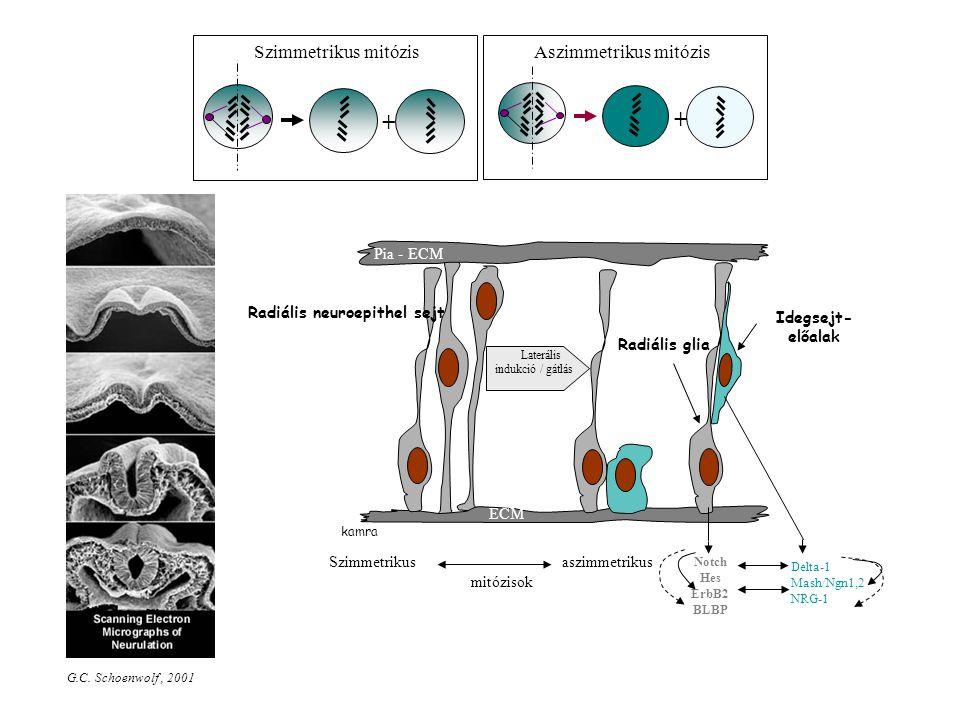 Szimmetrikus mitózis + Aszimmetrikus mitózis + kamra Pia - ECM Radiális glia Radiális neuroepithel sejt ECM Idegsejt- előalak Laterális indukció / gátlás Szimmetrikus aszimmetrikus mitózisok Notch Hes ErbB2 BLBP Delta-1 Mash/Ngn1,2 NRG-1 G.C.