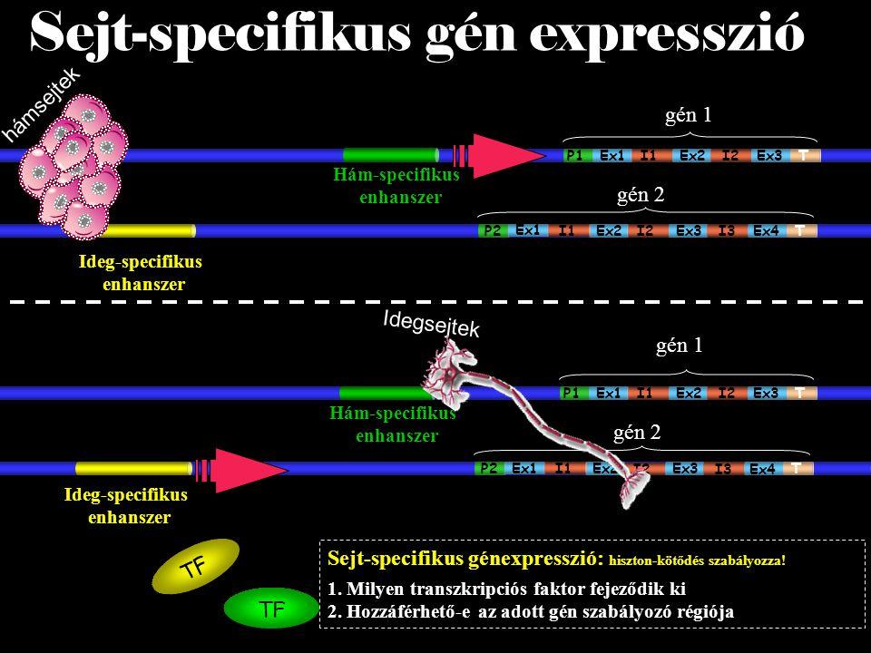 gén 2 Idegsejtek Ideg-specifikus enhanszer P2 T Ex2Ex3 Ex4I3I2 Sejt-specifikus gén expresszió gén 1 P1 T Ex1Ex2 Ex3I2I1 Ex1 I1 Hám-specifikus enhanszer TF gén 2 P2 T Ex2Ex3 Ex4I3I2 gén 1 P1 T Ex1Ex2 Ex3I2I1 Ex1 I1 Hám-specifikus enhanszer S Ideg-specifikus enhanszer TF hámsejtek Sejt-specifikus génexpresszió: hiszton-kötődés szabályozza.