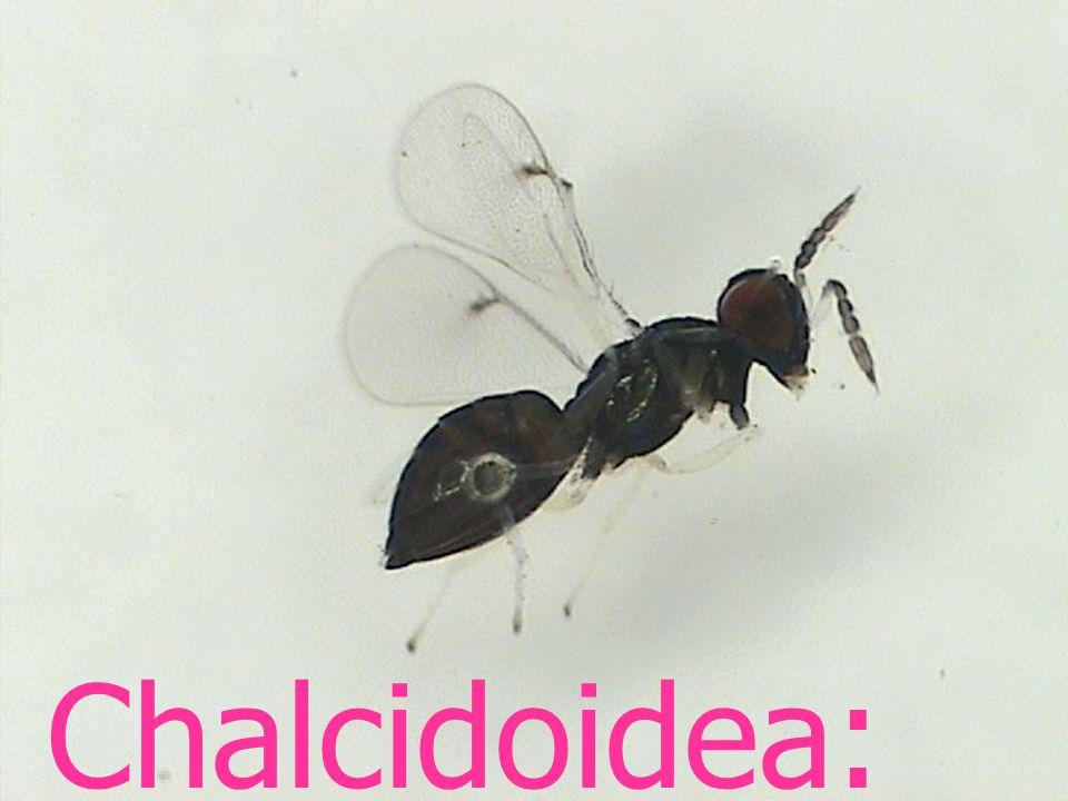 Chalcidoidea: Encyrtidae