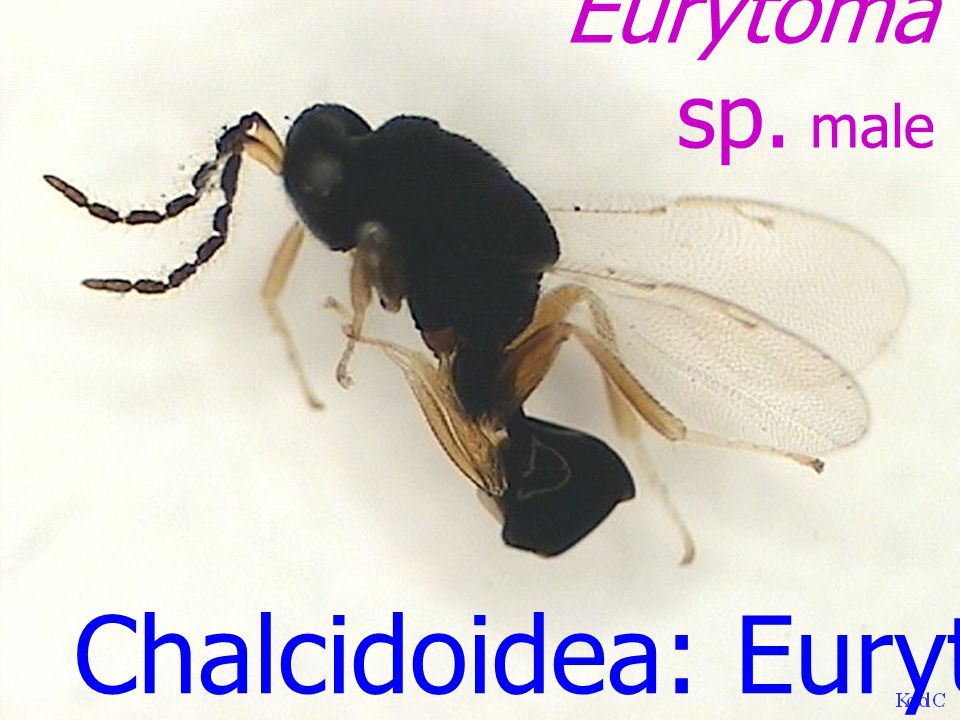 Chalcidoidea: Eupelmidae