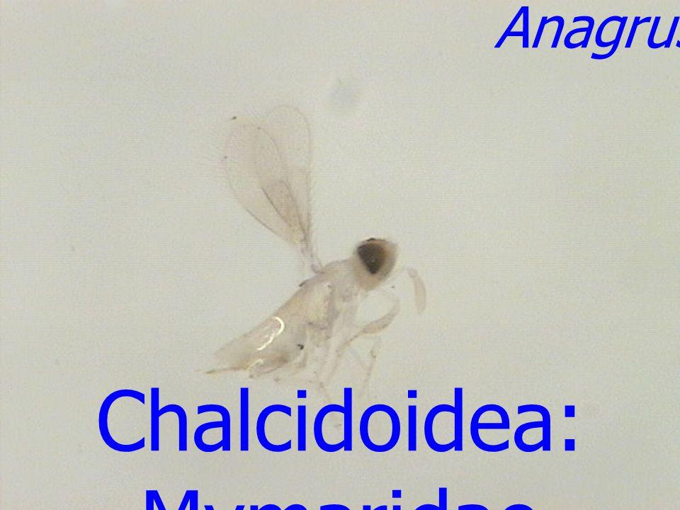 Eurytoma sp. male Chalcidoidea: Eurytomidae
