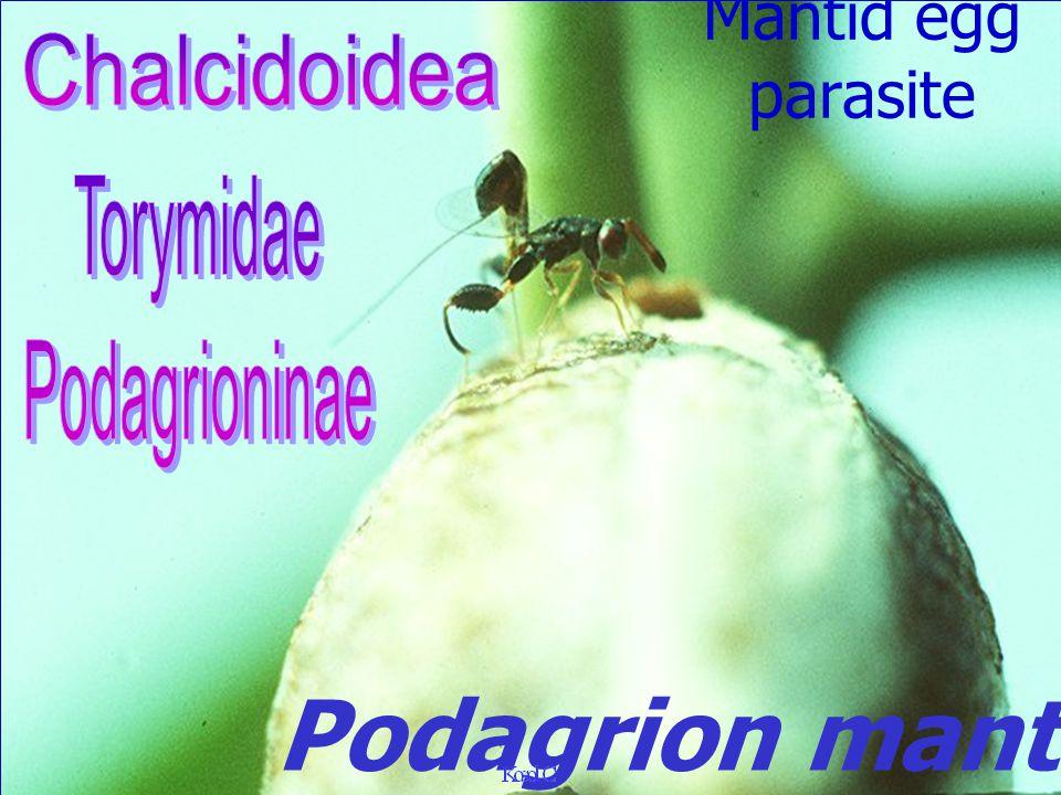 Chalcidoidea: Signiphoridae