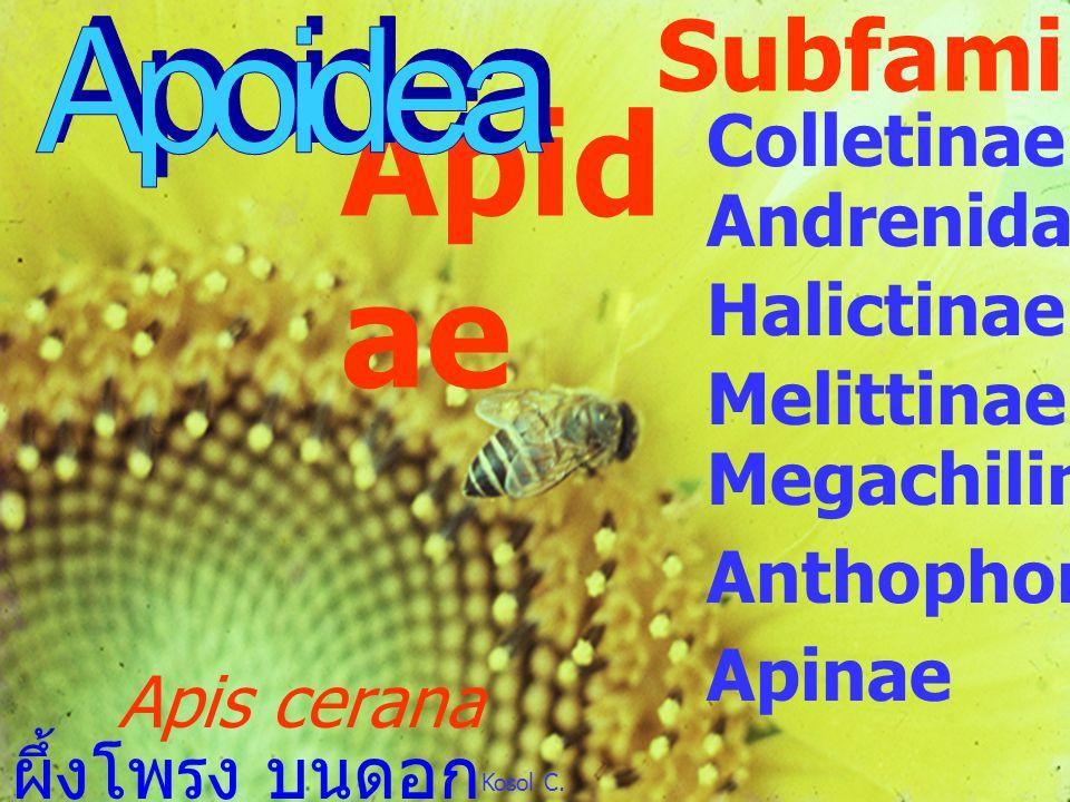 Mutillidae Mutillidae velvet ant