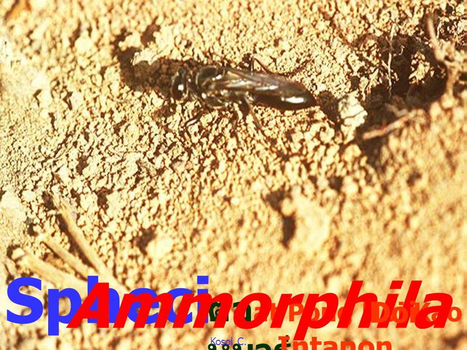 Apis cerana ผึ้งโพรง บนดอก ทานตะวัน Apid ae Subfamilies: Colletinae Andrenidae Halictinae Melittinae Megachilinae Anthophorinae Apinae Kosol C.