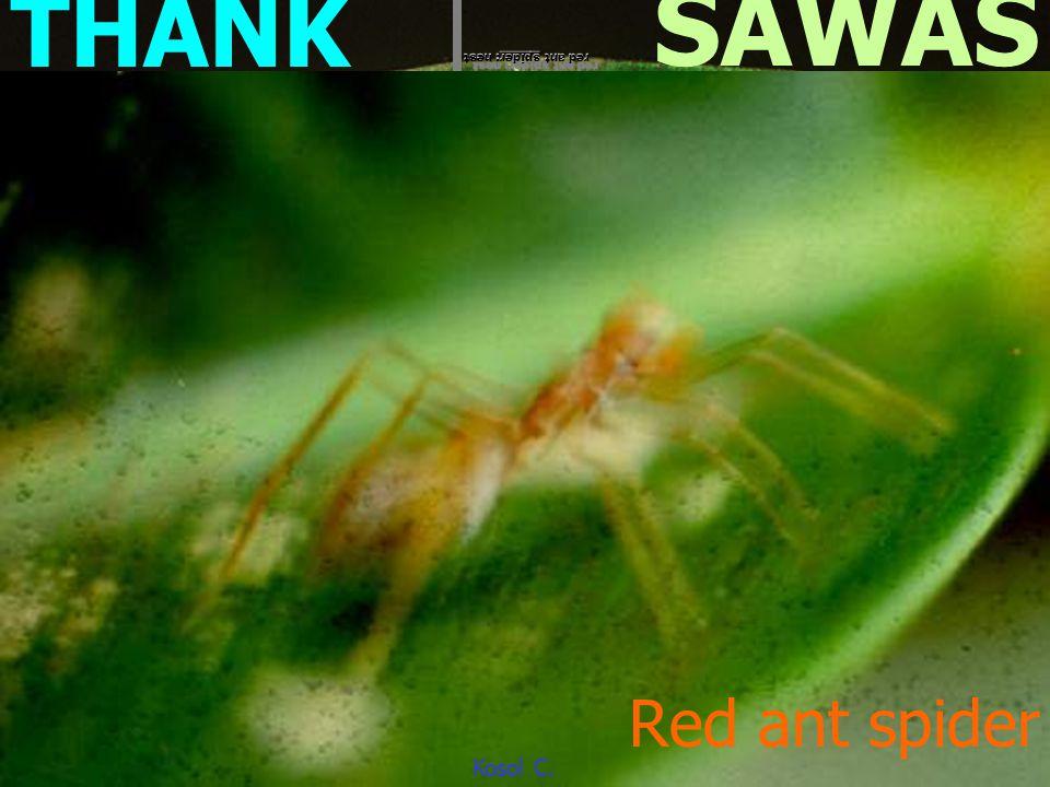 at Pong Noi Kao ต่อ หมาร่ า Spheci dae Ammorphila sp. Doi Intanon Kosol C.