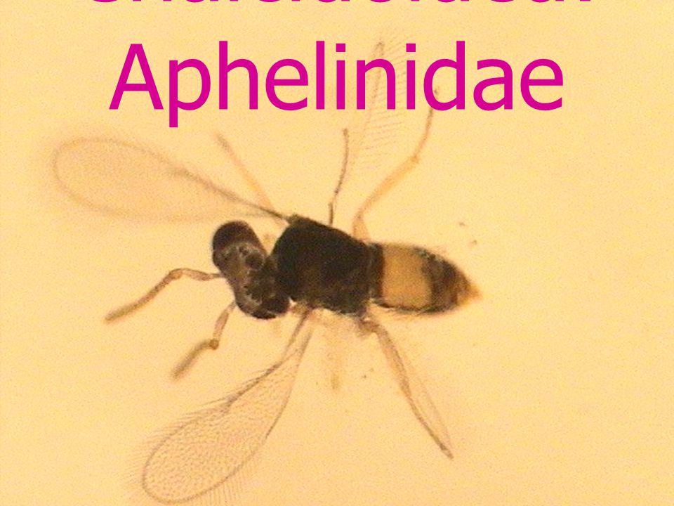 Cynipoidea: Eucoilidae