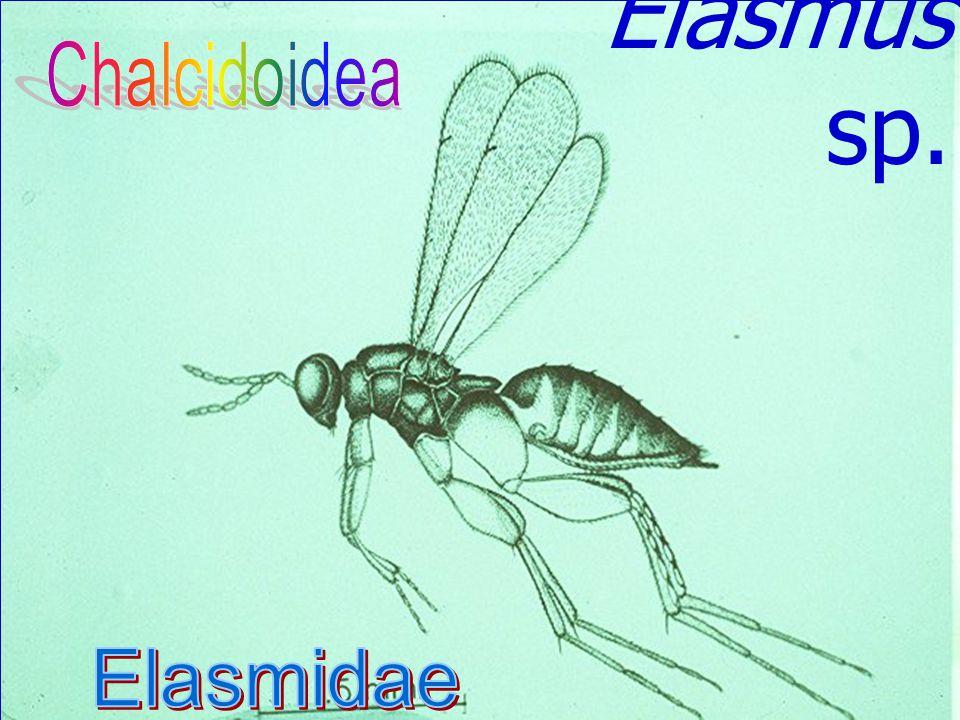 Leucospis petiolata