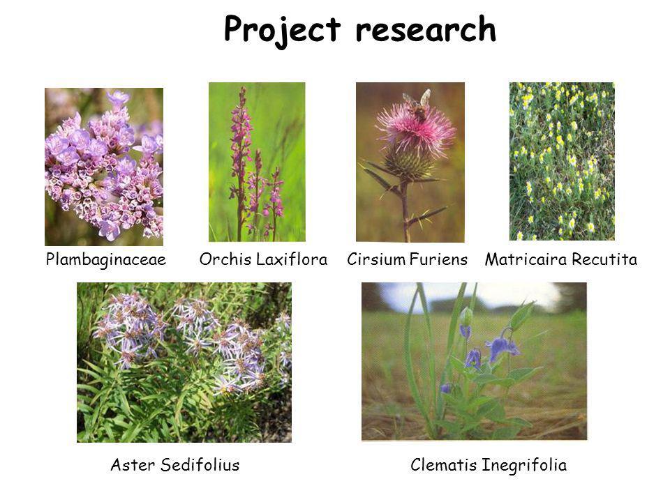 Project research Aster Sedifolius PlambaginaceaeOrchis LaxifloraCirsium FuriensMatricaira Recutita Clematis Inegrifolia
