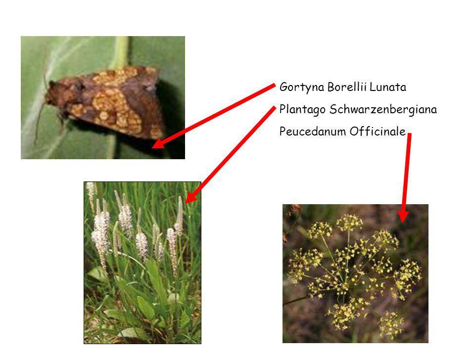 Gortyna Borellii Lunata Plantago Schwarzenbergiana Peucedanum Officinale