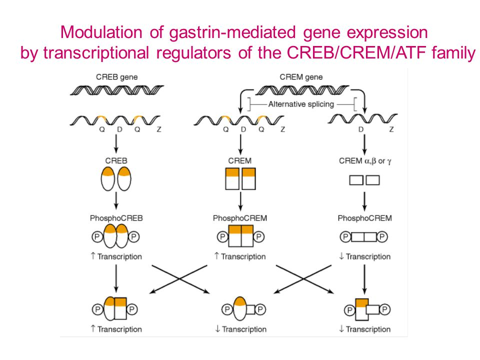 gastric carsinoma gastric carcinoids hypergastrinemia gastrin-mediated gene expression CREB/CREM/ATF-modulated gene expression Genome-wide gene expression gastric mucosa custom microarrays system-wide screening of CREB/CREM/ATF splice variants Work plan: cDNA/oligo/splice variant MIKROARRAY