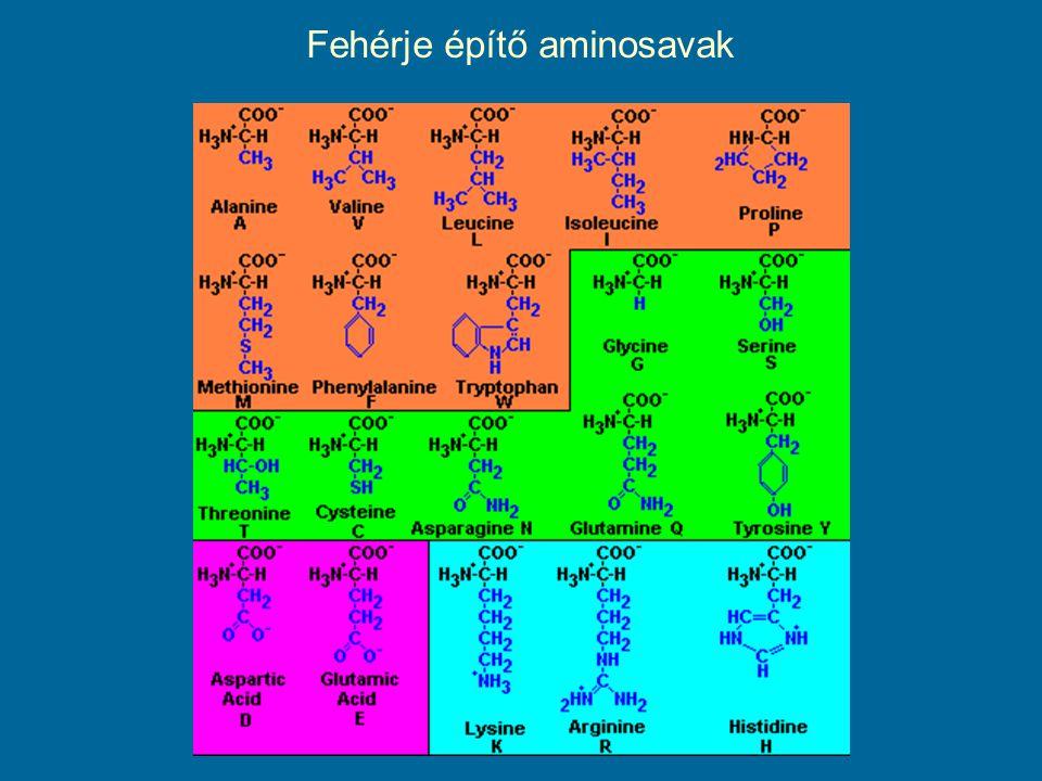 Fehérje építő aminosavak