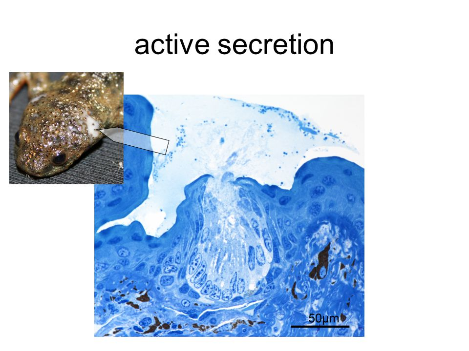 active secretion