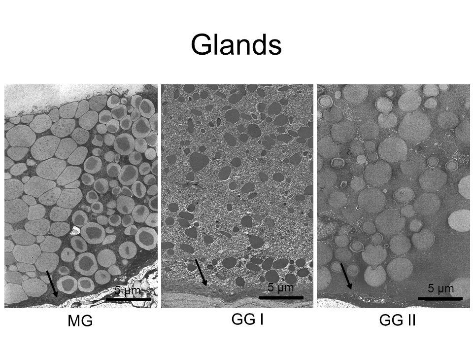 Glands MG GG I GG II 5 µm