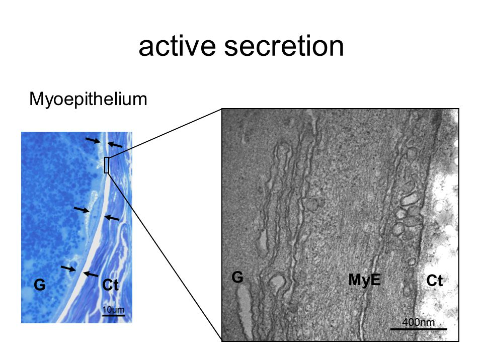 active secretion Myoepithelium GCt G MyE Ct