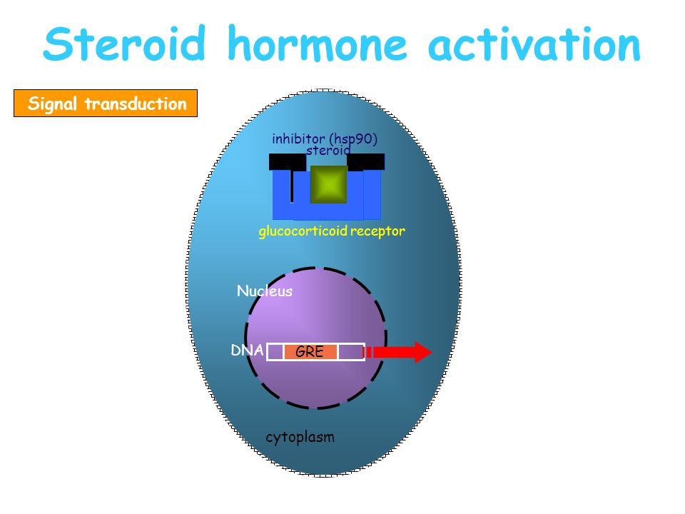 Steroid hormone activation GRE: glucocorticoid response element GRE DNA cytoplasm Nucleus glucocorticoid receptor inhibitor (hsp90) steroid Signal transduction