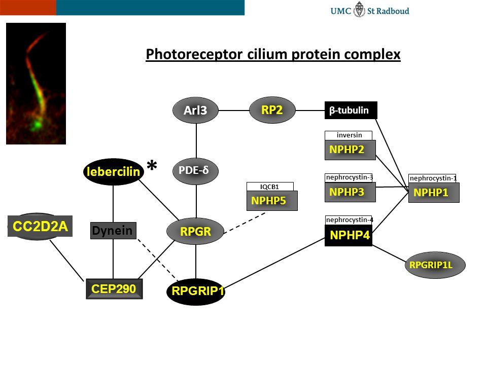 RPGRIP1 NPHP2 inversin NPHP5 IQCB1 nephrocystin-3 NPHP3 RPGRIP1L NPHP4 nephrocystin-4 PDE-δ Arl3 RP2 β-tubulin NPHP1 nephrocystin-1 RPGR Photoreceptor