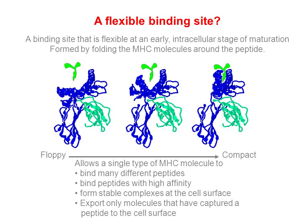 A flexible binding site? A binding site that is flexible at an early, intracellular stage of maturation Formed by folding the MHC molecules around the