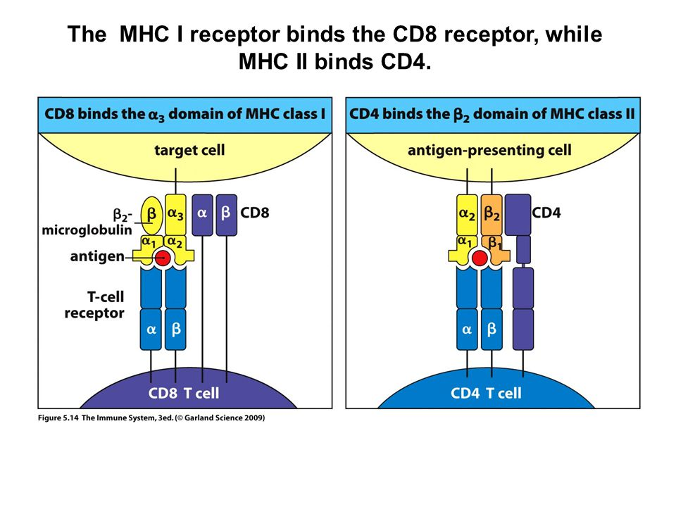 The MHC I receptor binds the CD8 receptor, while MHC II binds CD4.