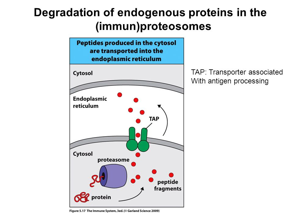 Degradation of endogenous proteins in the (immun)proteosomes TAP: Transporter associated With antigen processing
