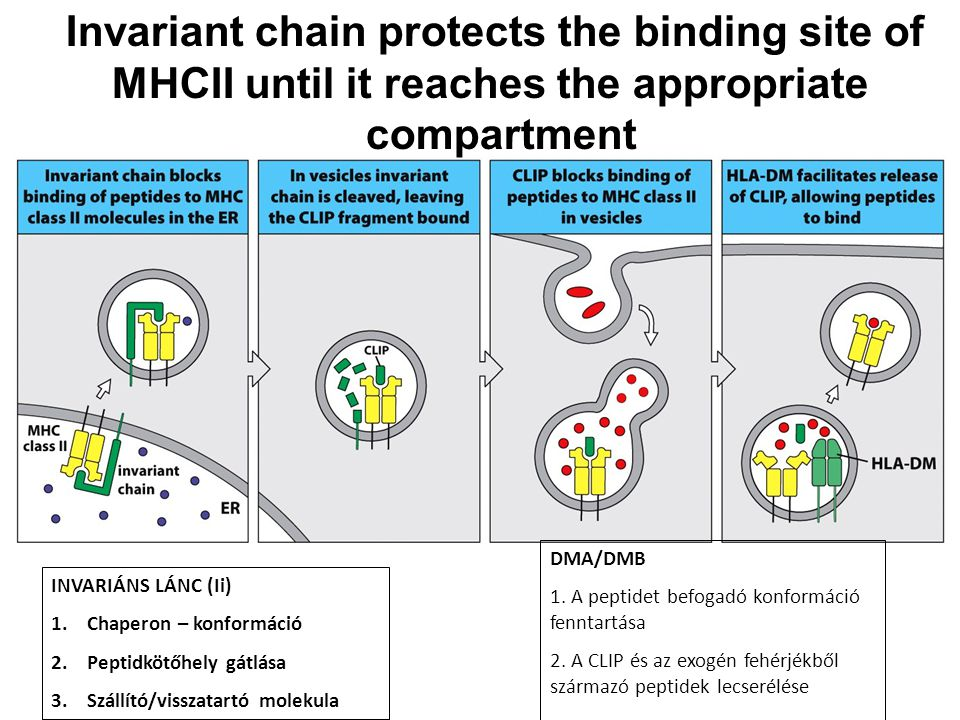 Invariant chain protects the binding site of MHCII until it reaches the appropriate compartment INVARIÁNS LÁNC (Ii) 1.Chaperon – konformáció 2.Peptidk