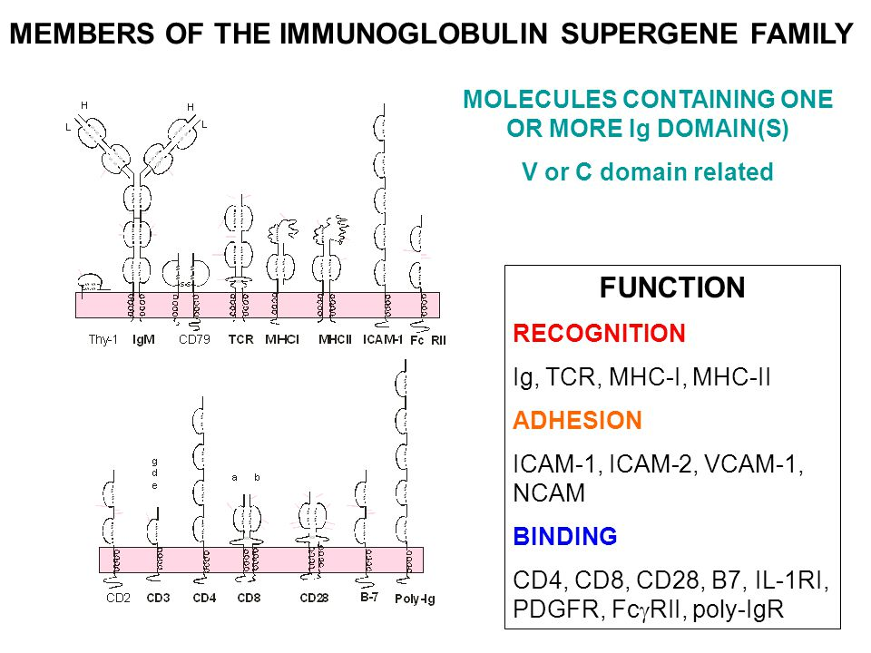MEMBERS OF THE IMMUNOGLOBULIN SUPERGENE FAMILY FUNCTION RECOGNITION Ig, TCR, MHC-I, MHC-II ADHESION ICAM-1, ICAM-2, VCAM-1, NCAM BINDING CD4, CD8, CD2