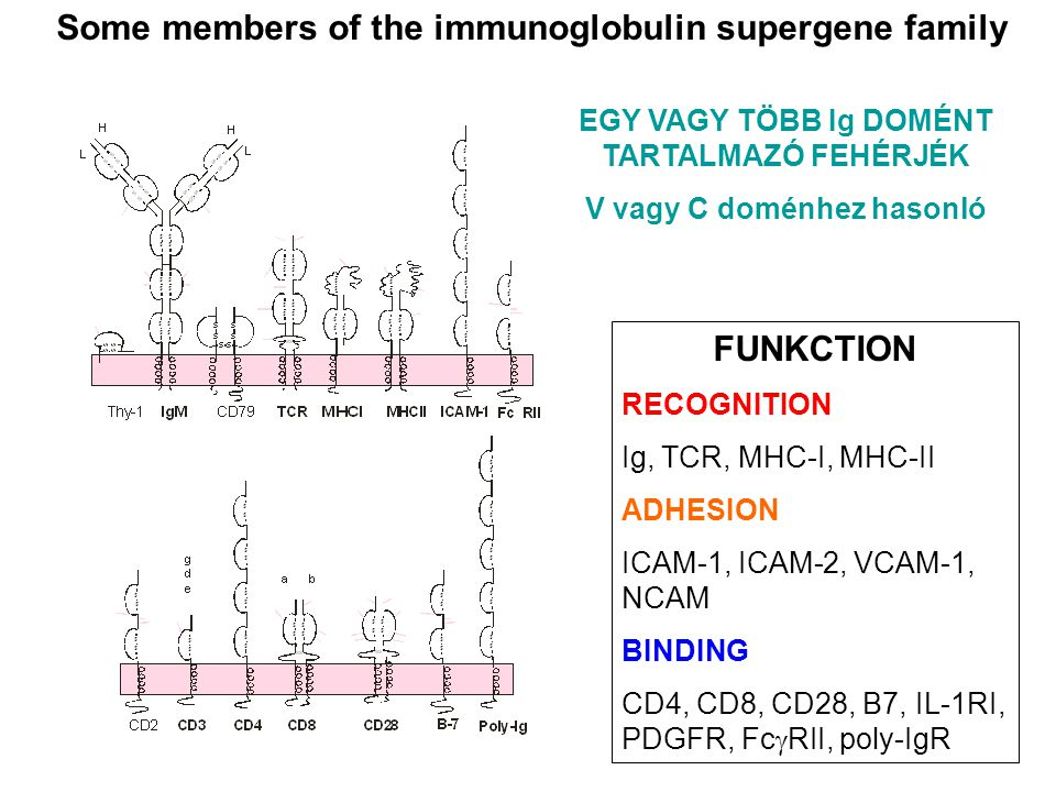 Some members of the immunoglobulin supergene family FUNKCTION RECOGNITION Ig, TCR, MHC-I, MHC-II ADHESION ICAM-1, ICAM-2, VCAM-1, NCAM BINDING CD4, CD
